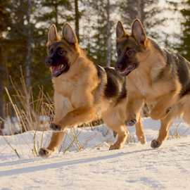 happy days..! by Kristin Smestad - Animals - Dogs Running ( hund, puppy, schäfer, dog, animal )