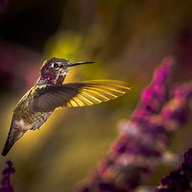Anna's Hummingbird 2124 by Ken Wade - Animals Birds ( calypte anna, anna's hummingbird )