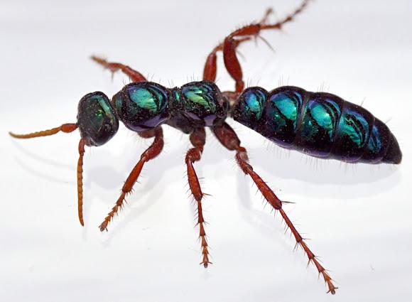 Bluebottle Aka Blue Ant Wasp Project Noah