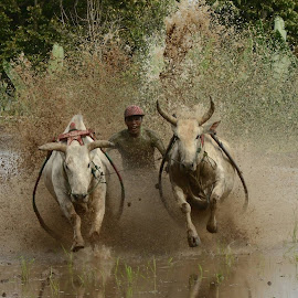 Pacu Jawi by Ricky Andesta - News & Events Entertainment ( events, sports, action, cow, traditional, people, race, entertainment )