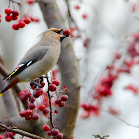 by Beaver Tripp - Animals Birds ( winter, snow, feeding, crabapple, waxwing )