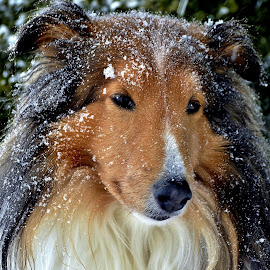 Snowy Dog day by Tim Hall - Animals - Dogs Portraits ( winter snow, dogs, dog in snow, shetland sheepdog, sheltie, cold weather,  )