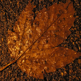 A Golden Leaf On The Road by Rumiana Doncheva - Nature Up Close Leaves & Grasses ( nature, autumn, leaf, road, rain )