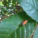 Orange Leafhopper or Black Tipped Sharpshooter