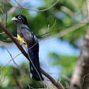 Black-headed Trogon (male)
