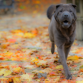 Autumn Time  by Michael Sweeney - Animals - Dogs Portraits ( scotland, tollcrosspark, autumn, nikon d800, sharpei, michael m sweeney, nikon, dog )