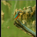 The kingfisher (Alcedo atthis)