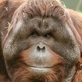Happy Friday! by Garry Chisholm - Animals Other Mammals ( garry chisholm, orang, nature, ape, wildlife, primate, utan )