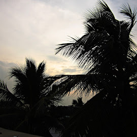 coconut trees by Venkat Krish - Nature Up Close Trees & Bushes ( #trees #black #sillhouette #evening #sun )