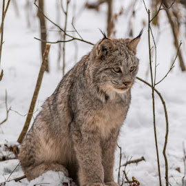 Big Kitty by Linda Farwell Ryma - Animals Other Mammals ( cat, lynx, northwestern ontario, wildlife, thunder bay )
