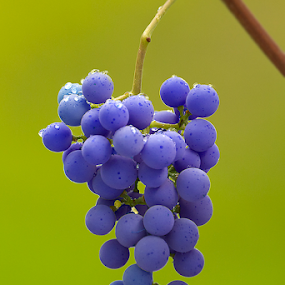 Grapes by Jasenka Lukša - Nature Up Close Gardens & Produce ( grapes, grape, pwcvegetablegarden, vitis vinifera,  )