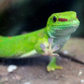 Madagascar Gecko by Pietro Ebner - Animals Reptiles (  )