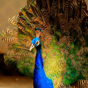 Gorgeous Peacock by Sadat Hossain - Animals Birds ( bird, bangladesh, gorgeous, 60d, peacock )