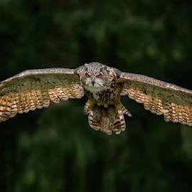 Wingspan by Michael Milfeit - Animals Birds ( uhu, bird of prey, eule, raubvogel, bubo bubo, owl, eagle owl )