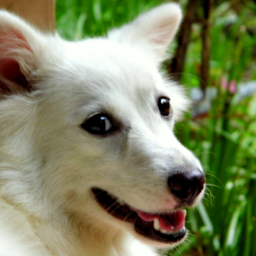 by Amal Vs - Animals - Dogs Portraits ( dog, pomeranian, portrait )