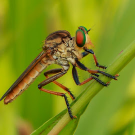 Robber Fly by Richard Liong - Animals Insects & Spiders