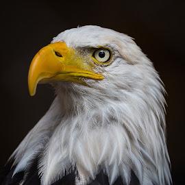 Majestic  by Rico Forlini - Animals Birds ( birds of prey, eagle, nature, raptor, bald eage, american bald eagle )