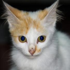cute kitten by Tanmoy Èxötîç - Animals - Cats Kittens ( cats, animals, kitten, cat, kittens )