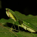 Leafy Praying Mantis