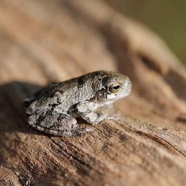 by Forrest Covin - Animals Amphibians ( quarter size frog from end to end, macro, species, autumn, frog, fall, amphibian,  )