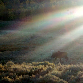 Misty Autumn Moose by Marijo Phelps - Animals Other Mammals ( moose in mist, autumn moose, early morning moose, bull moose, misty morning moose, fall, color, colorful, nature )