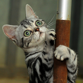 ASH by Cacang Effendi - Animals - Cats Playing ( cats, cattery, kitten, chandra, animal )