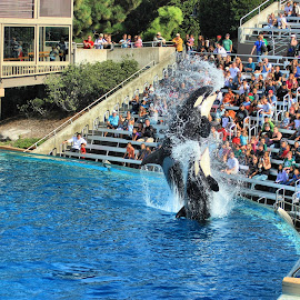 Killer Whale Spits Water by Matt Dittsworth - City,  Street & Park  Amusement Parks ( water, spit, splash, park, killer whale, resort, wet, fun, people, sea world )