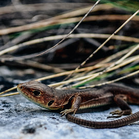 Little Dragon by Zec Mladen - Animals Reptiles ( reptiles, lizard, nature, nature up close, reptile )