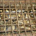 Rock Python / Southern African Python
