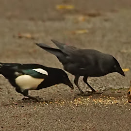 Magpie, Jackdaw and Squirrel by Bob Rawlinson - Animals Other ( towneley )