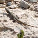 Maltese muurhagedis (Podarcis filfolensis)