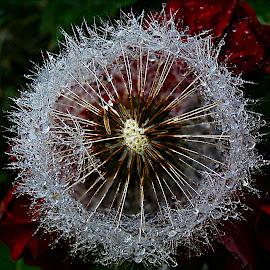 Dandelion's Splendor In October by Marija Jilek - Nature Up Close Other plants ( water, nature, dandelion, spledor, plants, seeds, october )