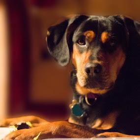 Luna by Jarrod Kudzia - Animals - Dogs Portraits ( dog dogs shadow puppy paws ball,  )