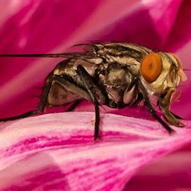 Housefly by Arunava Bhattacharya - Abstract Macro ( macro, fly, house, insect, close up )
