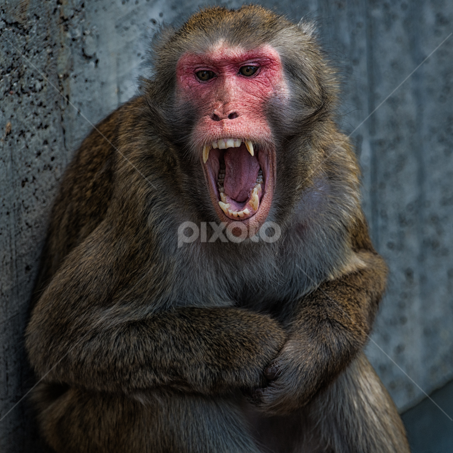 Agression by Johannes Oehl - Animals Other Mammals ( macaca fuscata, wilhelma, zoo, blutbrustpavian, japanmakak, stuttgart, germany, botanical garden,  )