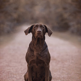 by Wendy Vaughn - Animals - Dogs Portraits ( silent, serene, brown dog, dog, labrador, big dog )