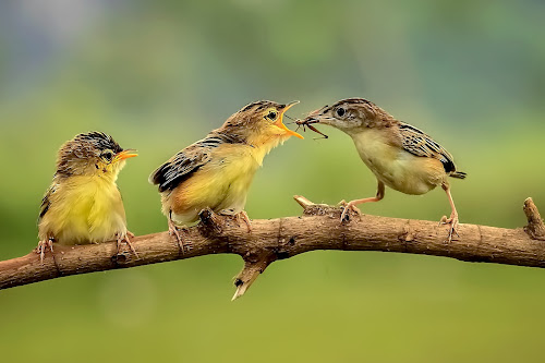 Three Birds by MazLoy Husada - Animals Birds (  )