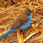 The Red-cheeked Cordon-bleu