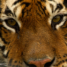 Tiger eyes by Elise Northfield - Animals Lions, Tigers & Big Cats ( cat, tiger, male, fur, eyes,  )