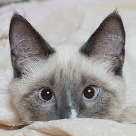 Elwyn by Dawn Wollin-Fischer - Animals - Cats Kittens ( cats, blue eyes, kittens, lilac point, siamese,  )