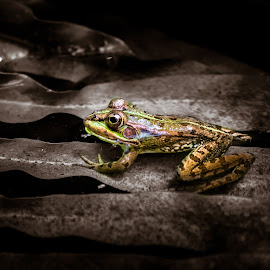 The frog by Pedro Galvao - Animals Amphibians ( water, frog, green, lake, antique )