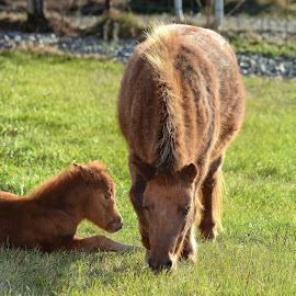 Ponies by Rj Smith - Animals Horses ( pony, grass, eating, baby, spring )