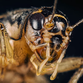 Cricket. by SweeMing YOUNG - Animals Insects & Spiders