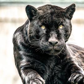 Black Jaguar by Horst Winkler - Animals Lions, Tigers & Big Cats ( big cat, jaguar, wien, cat, schönbrunn, dangerous, eyes, cats, vienna, danger, zoo, tiergarten, black )
