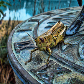 Lunchtime by Bonnie Rovere - Animals Insects & Spiders ( sundial, blue, bug, grasshopper,  )