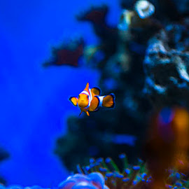 hi, I'm Nemo.... by Frangky Angkadjaja - Animals Fish (  )