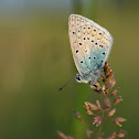 Common Blue (Hauhechel Bläuling)