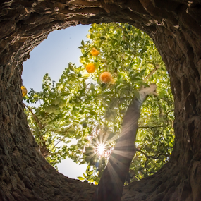 Orange tree grows out hole in roof by Kathy Dee - Nature Up Close Trees & Bushes ( plant, orange, blooming, green, star, cave, sun, roof, amazing, backlit, oranged, brown, hole, top )