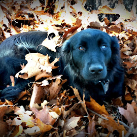 not so camouflaged by Ey Candy - Animals Other ( autumn, hiding, fall, leaves, dog )