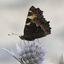 Small tortoiseshell (wings closed)